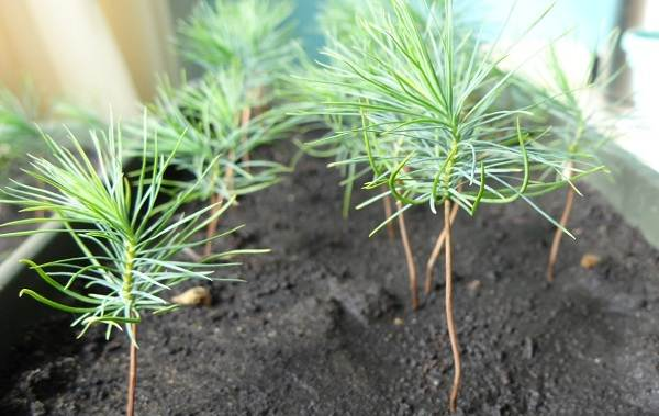 Сосна-гималайская-дерево-Описание-особенности-виды-посадка-и-уход-15