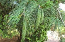 Сосна гималайская дерево. Описание, особенности, виды, посадка и уход
