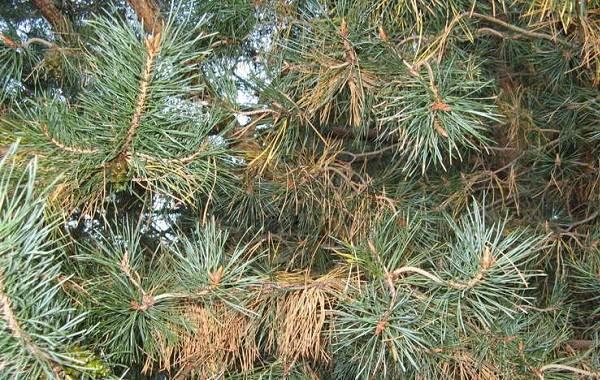 Сосна-гималайская-дерево-Описание-особенности-виды-посадка-и-уход-21