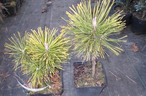 Сосна-гималайская-дерево-Описание-особенности-виды-посадка-и-уход-23