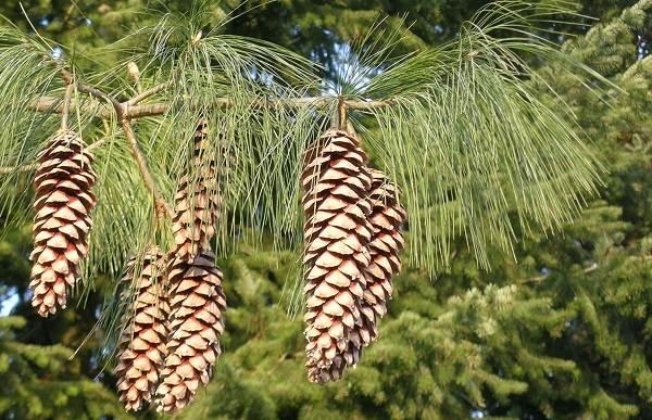 Сосна-гималайская-дерево-Описание-особенности-виды-посадка-и-уход-6