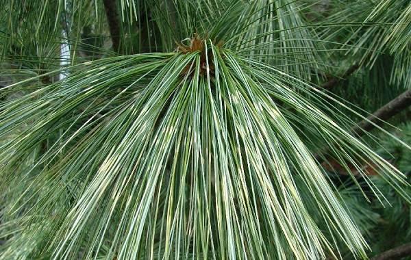 Сосна-гималайская-дерево-Описание-особенности-виды-посадка-и-уход-8