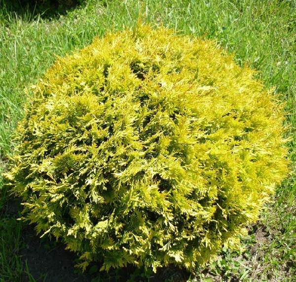 Туя-шаровидная-дерево-Описание-особенности-виды-посадка-и-уход-4