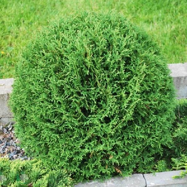 Туя-шаровидная-дерево-Описание-особенности-виды-посадка-и-уход-8