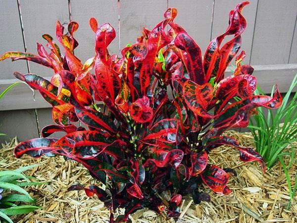 Кодиеум-цветок-Описание-особенности-виды-посадка-и-уход-за-кодиеумом-7