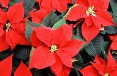 Пуансеттия цветок. Описание, особенности, виды и выращивание пуансеттии
