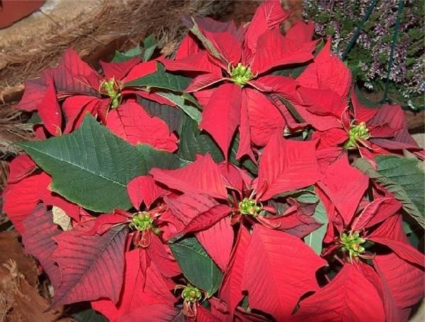 Пуансеттия-цветок-Описание-особенности-виды-и-выращивание-паунсеттии-3