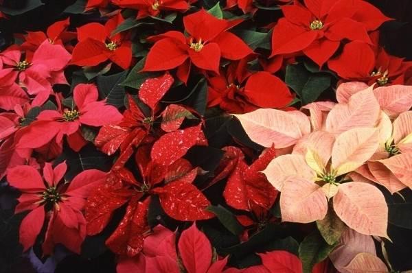 Пуансеттия-цветок-Описание-особенности-виды-и-выращивание-паунсеттии-4