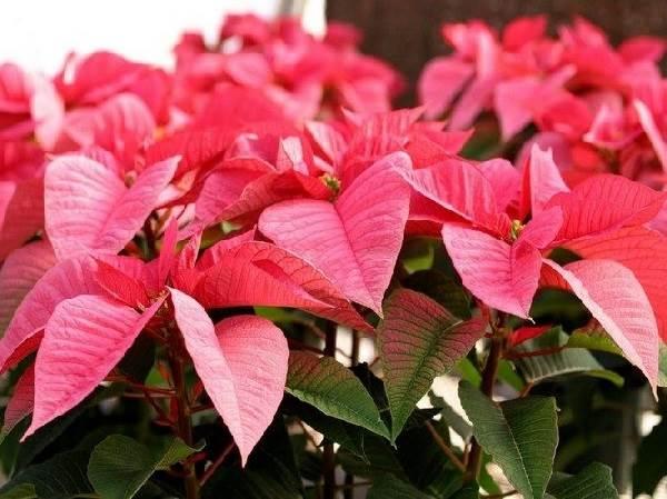 Пуансеттия-цветок-Описание-особенности-виды-и-выращивание-паунсеттии-5