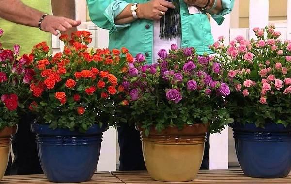 Роза-Кордана-цветок-Описание-особенности-виды-и-выращивание-розы-Кордана-10