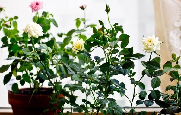 Роза-Кордана-цветок-Описание-особенности-виды-и-выращивание-розы-Кордана-17