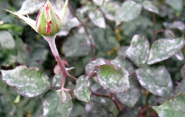 Роза-Кордана-цветок-Описание-особенности-виды-и-выращивание-розы-Кордана-18