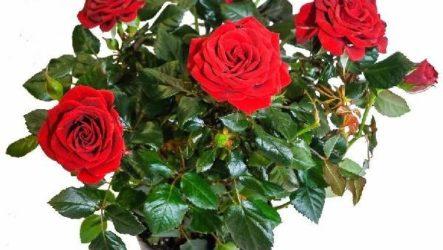 Роза Кордана цветок. Описание, особенности, виды и выращивание розы Кордана