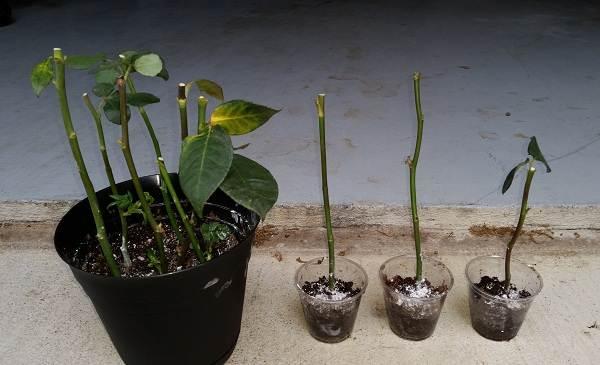 Как-посадить-розу-из-букета-10