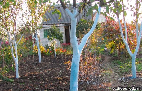 Побелка-деревьев-Для-чего-когда-и-чем-белить-деревья-15