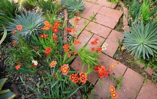 Спараксис-цветок-Описание-особенности-виды-посадка-и-уход-за-спараксисом-15