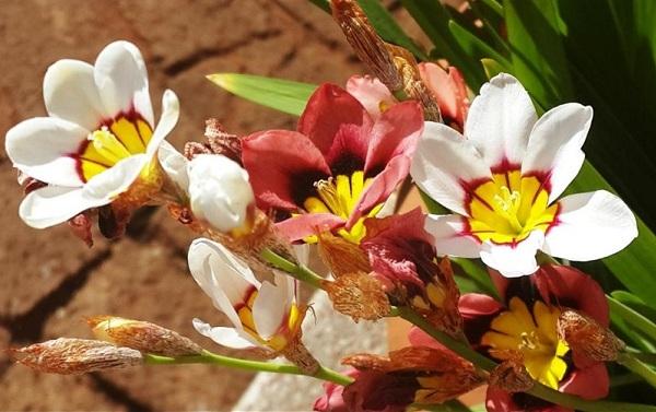 Спараксис-цветок-Описание-особенности-виды-посадка-и-уход-за-спараксисом-19