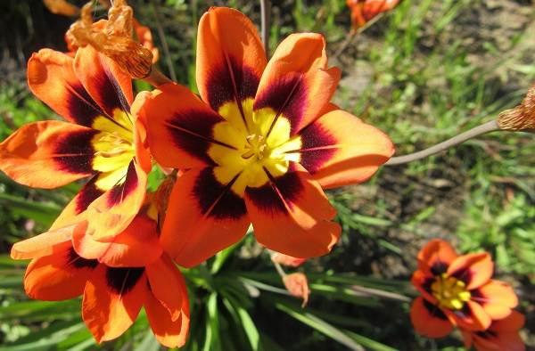 Спараксис-цветок-Описание-особенности-виды-посадка-и-уход-за-спараксисом-3