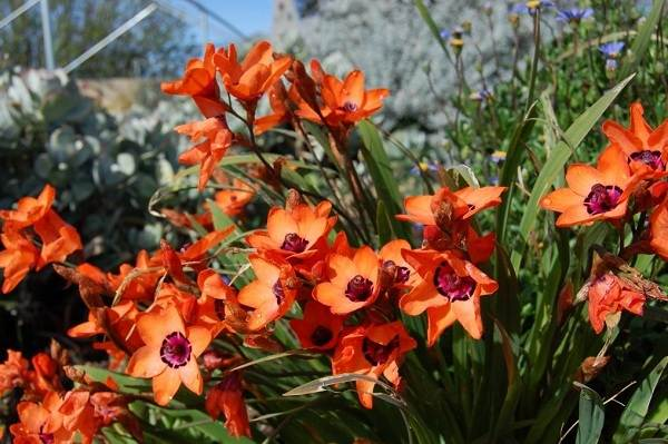 Спараксис-цветок-Описание-особенности-виды-посадка-и-уход-за-спараксисом-8