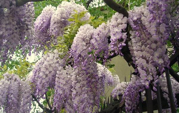 Глициния-растение-Описание-и-особенности-виды-и-сорта-как-и-где-сажать-глицинию-11