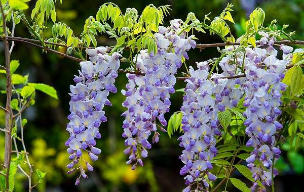 Глициния-растение-Описание-и-особенности-виды-и-сорта-как-и-где-сажать-глицинию-4