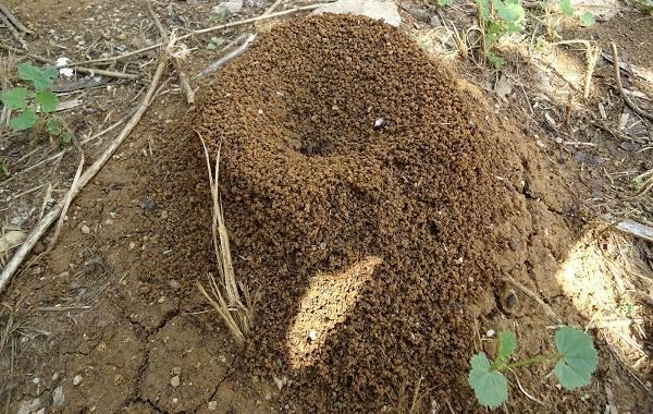Муравьи-в-огороде-Польза-вред-и-как-бороться-с-муравьями-в-огороде-1