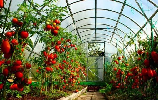 Почему-в-теплице-не-опыляются-помидоры-Как-и-чем-опылять-помидоры-в-теплице-11