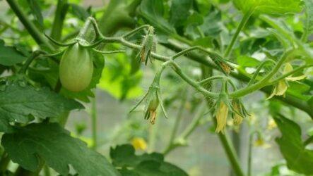 Почему в теплице не опыляются помидоры? Как и чем опылять помидоры в теплице?