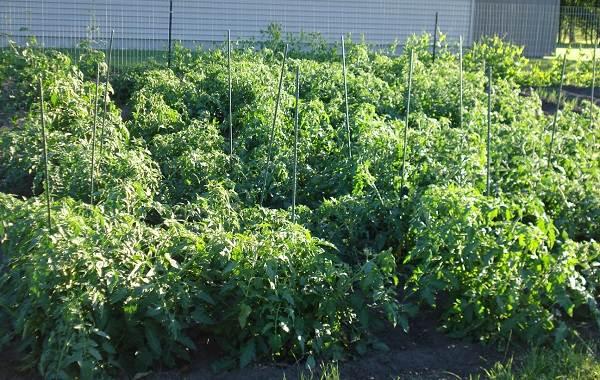 Почему-в-теплице-не-опыляются-помидоры-Как-и-чем-опылять-помидоры-в-теплице-7