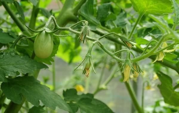 Почему-в-теплице-не-опыляются-помидоры-Как-и-чем-опылять-помидоры-в-теплице