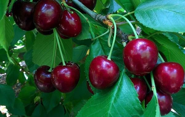 Черешня-растение-Описание-и-особенности-сорта-польза-и-вред-уход-и-выращивание-черешни-12