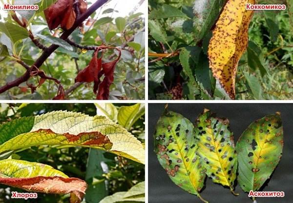 Черешня-растение-Описание-и-особенности-сорта-польза-и-вред-уход-и-выращивание-черешни-23