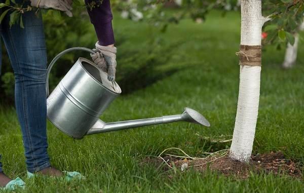 Черешня-растение-Описание-и-особенности-сорта-польза-и-вред-уход-и-выращивание-черешни-25