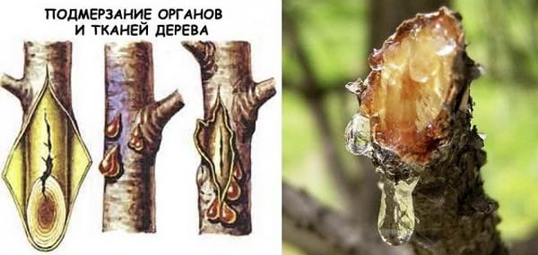Черешня-растение-Описание-и-особенности-сорта-польза-и-вред-уход-и-выращивание-черешни-27