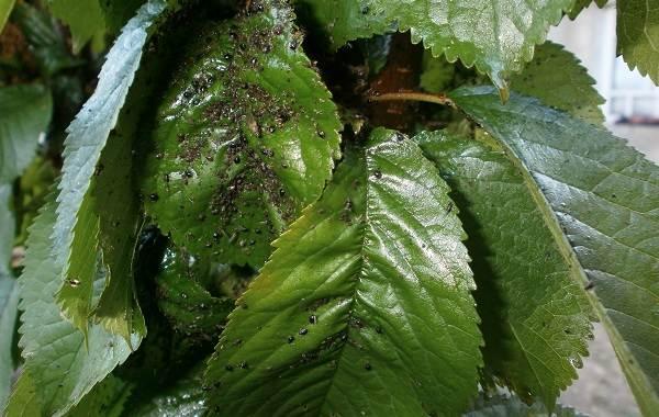 Черешня-растение-Описание-и-особенности-сорта-польза-и-вред-уход-и-выращивание-черешни-30