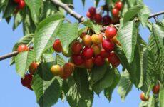 Черешня растение. Описание и особенности, сорта, польза и вред, уход и выращивание черешни