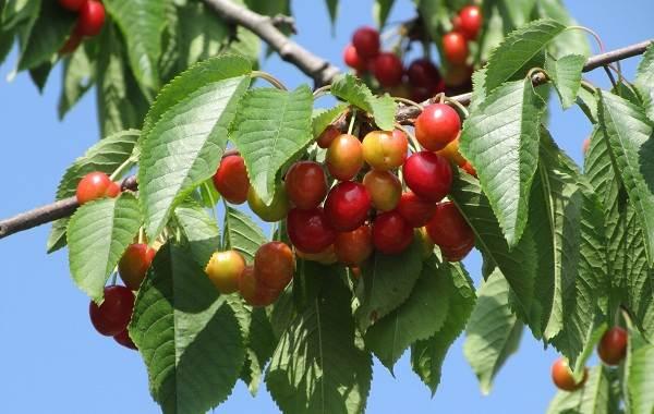 Черешня-растение-Описание-и-особенности-сорта-польза-и-вред-уход-и-выращивание-черешни-4