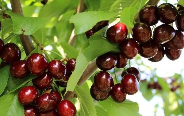Черешня-растение-Описание-и-особенности-сорта-польза-и-вред-уход-и-выращивание-черешни-7