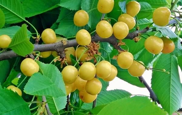 Черешня-растение-Описание-и-особенности-сорта-польза-и-вред-уход-и-выращивание-черешни-8