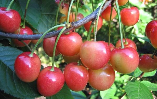 Черешня-растение-Описание-и-особенности-сорта-польза-и-вред-уход-и-выращивание-черешни-9