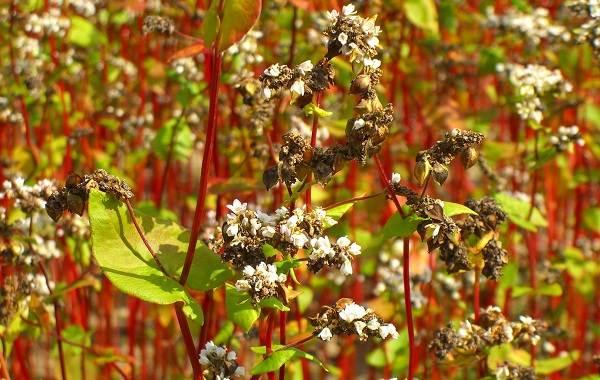 Гречиха-растение-Описание-особенности-виды-сорта-выращивание-и-свойства-гречихи-2
