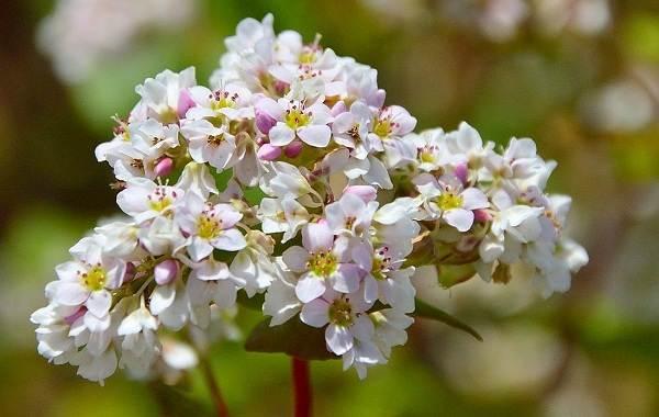 Гречиха-растение-Описание-особенности-виды-сорта-выращивание-и-свойства-гречихи-21