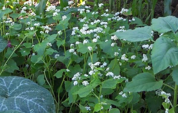 Гречиха-растение-Описание-особенности-виды-сорта-выращивание-и-свойства-гречихи-22