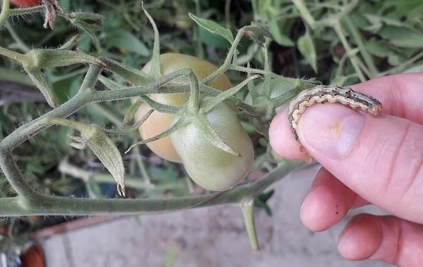 Гусеница-совки-вредитель-в-огороде-Как-выглядит-какой-вред-наносит-и-как-с-ней-бороться-12