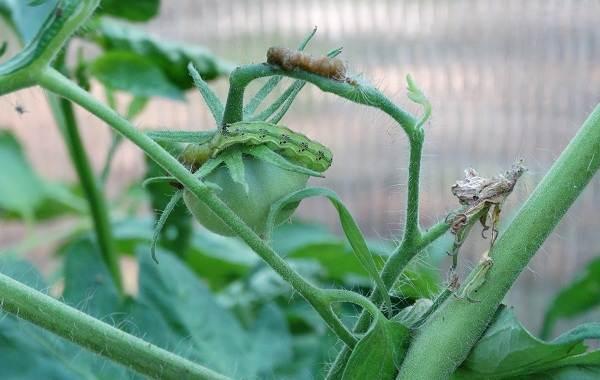 совка вредитель огорода как бороться фото