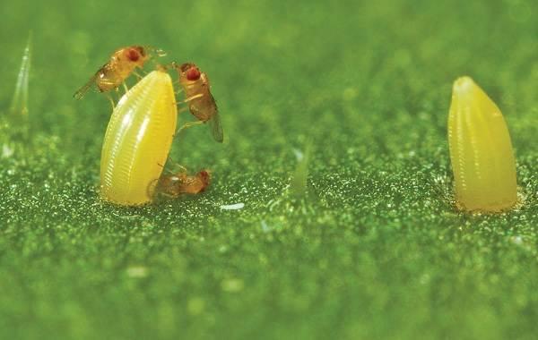Гусеница-совки-вредитель-в-огороде-Как-выглядит-какой-вред-наносит-и-как-с-ней-бороться-7