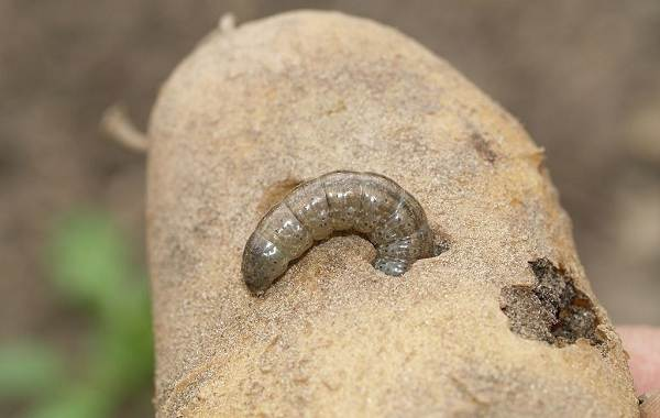 Гусеница-совки-вредитель-в-огороде-Как-выглядит-какой-вред-наносит-и-как-с-ней-бороться-8