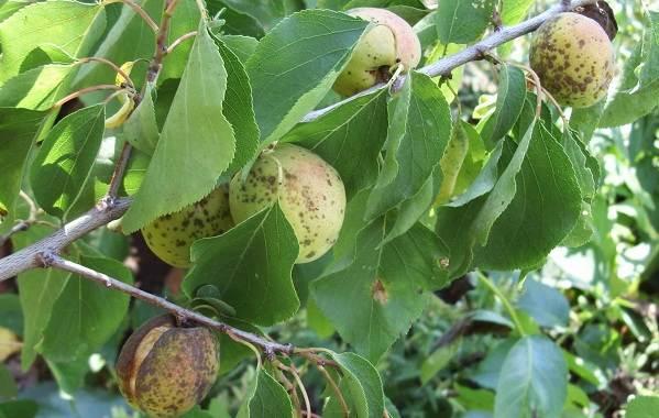Почему-опадают-плоды-фруктовых-деревьев-и-что-делать-чтобы-спасти-урожай-15
