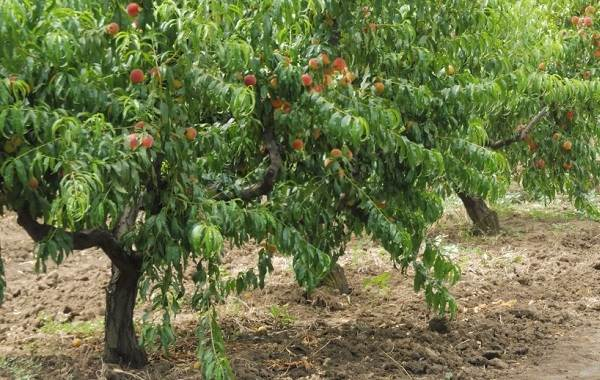 Почему-опадают-плоды-фруктовых-деревьев-и-что-делать-чтобы-спасти-урожай-16