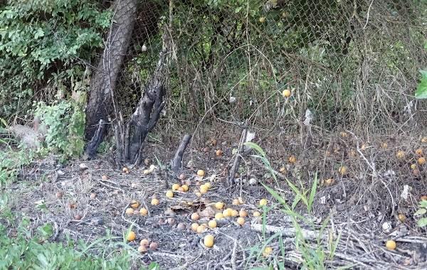 Почему-опадают-плоды-фруктовых-деревьев-и-что-делать-чтобы-спасти-урожай-17
